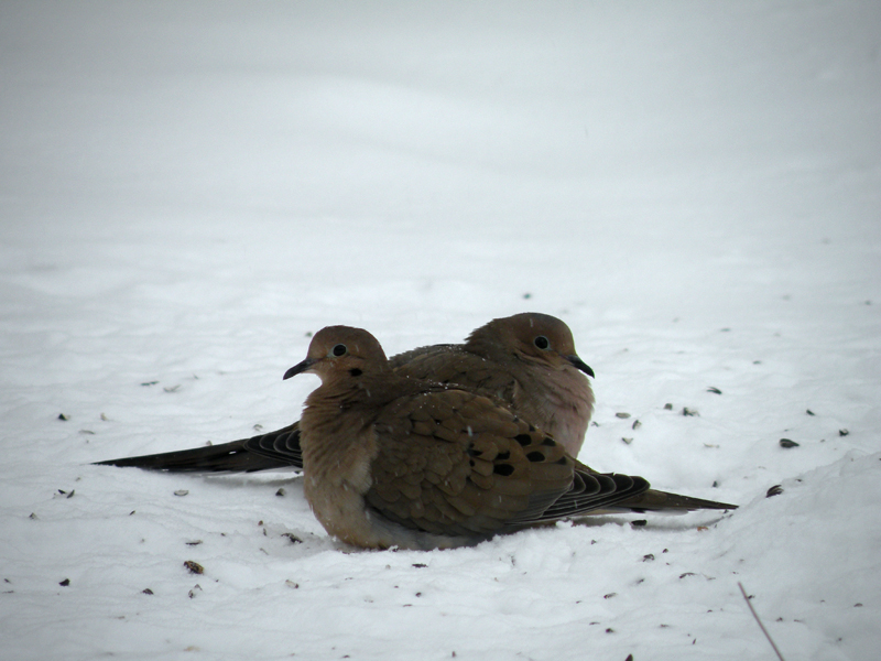 DSCN6542 [2010dec14]: mourning doves huddling as siamese twins in snow